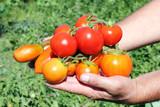 several tomato in a hand of farmer