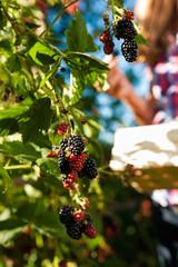 Woman harvesting berries in garden