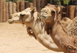 A Close Up of the Heads of Two Dromedary, or Arabian, Camels