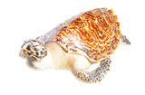 illegal mounted hawksbill sea turtle - critically endangered sea poster