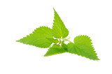 Stinging Nettle (Urtica Dioica) Isolated on White Background poster