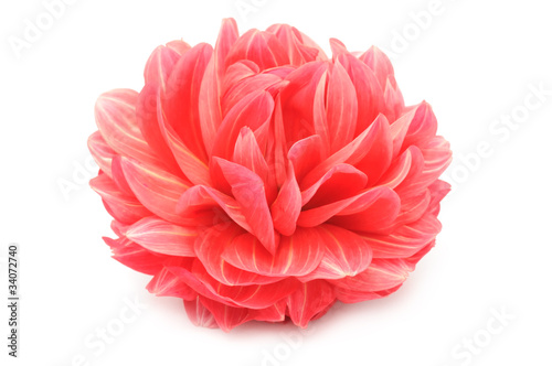 Foto op Aluminium Dahlia Beautiful Red Dahlia Isolated on White Background