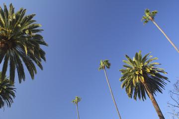 ビバリーヒルズのヤシの木