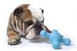 bulldog reniflant son jouet