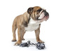 bulldog et son jouet à mâcher