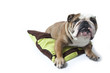 bulldog - bouledogue anglais