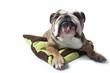bulldog à la mine patibulaire et rigolote