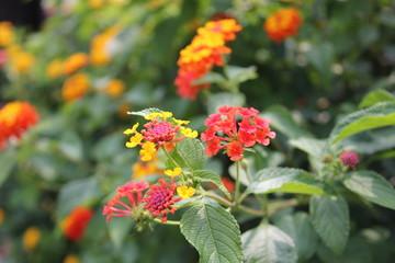赤いイクソラの花