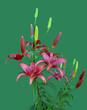 Красные лилии изолированные на зеленом фоне.