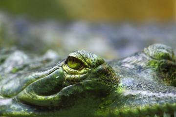 detail of alligator head
