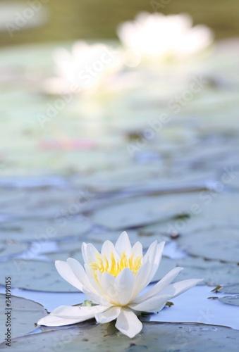 Leinwanddruck Bild fleur  de nénuphar