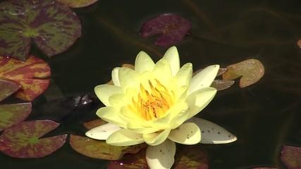 водяная лилия,кувшинка