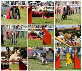 collage di cani in agility