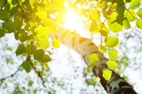 Birch in the rising sun.