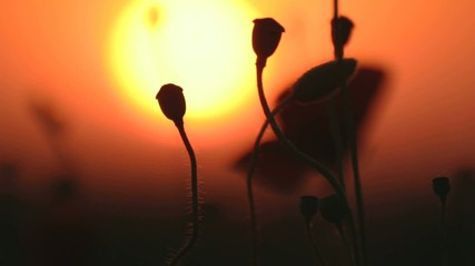 Some red poppies in blossom on wind against sunset