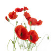 Natural Fresh Poppies isolated on white / focus on the foregroun