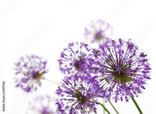 Foto op Plexiglas Lente Beautiful Allium / abstract on white