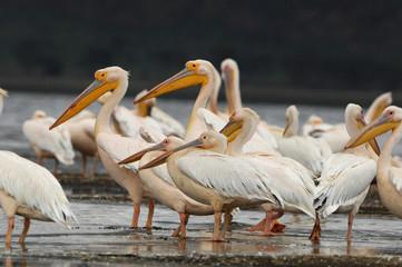 Pélicans du lac Nakuru