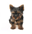 Sweet puppy Yorkshire Terrier (about 3 month)