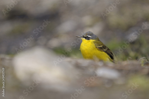 Motacilla flava, blue-headed wagtail