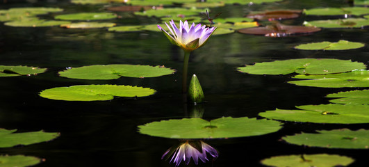 Panoramic view of water lily plant in the pond