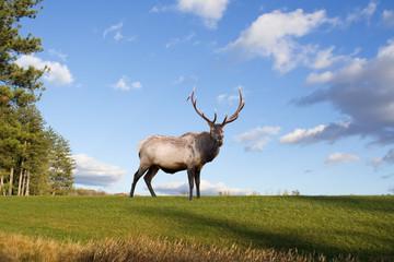A bull elk on a grassy hillside in Pennsylvania,USA.