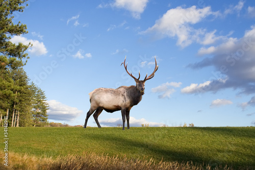 A bull elk on a grassy hillside in Pennsylvania,USA.