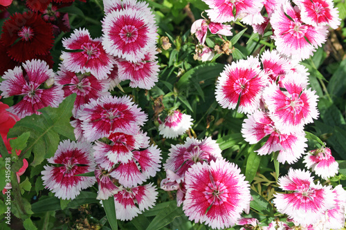 pretty sweet william flowers