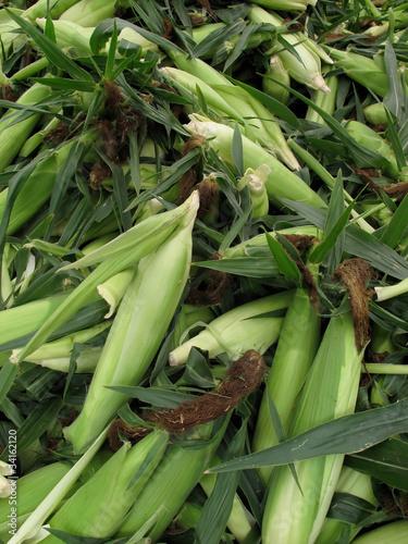 Fresh Ears of Organic Summer Sweet Corn