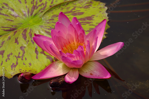 Gorgeous water lily, seerose