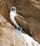 Blue-Footed Booby Bird, Galapagos