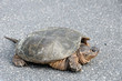 Large common snapping turtle in middle of road