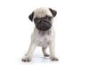 faciès du carlin boudeur - pug - mops - doguillo