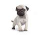 carlin téméraire - pug - mops - doguillo