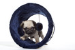 carlin explorateur - pug - mops - doguillo