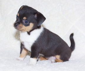 small chihuahua puppy