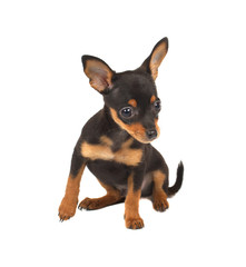 Russian toy terrier on a white background