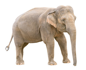 Asian elephant young female cutout