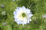 light blue cornflower