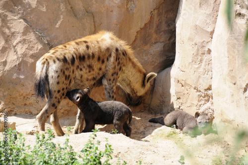 Papiers peints Hyène Hyäne und Junge