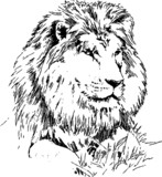 lion drawing - 34197581