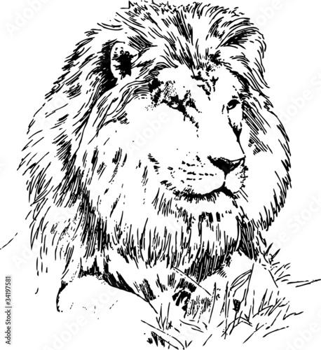 lion drawing - 34197581