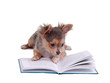 Clever chihuahua puppy reading a book