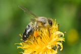 A bee pollinates a flower and harvested poster