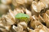 Grüne shield bug (Palomena prasina)