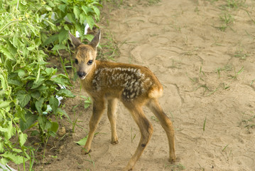 cute baby fawn deer with white spots
