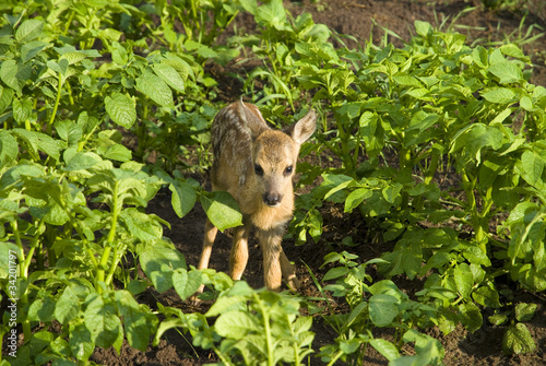 cute baby fawn deer with white spots is standing in the foliage