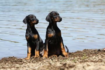 deux jeunes dobermann assis près de l'eau