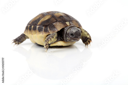 Kleine Schildkröte von vorne