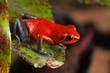 red poison dart frog on leaf